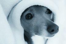 Adorable Italian Greyhounds / by Kim Hacker