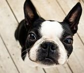 BOSTON TERRIER  L O V E