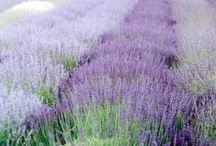 For the Love of Lavender / by Melissa Huffman