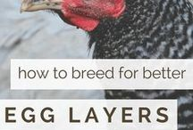 Bramblewood Hill / eggs, chickens, meat chickens, ducks, geese, goats, dairy goats, milk goats, alpacas, self-sufficiency, backyard farm,  homesteading, recipes, cooking, baking, productivity, achieving goals, housekeeping, knitting, sewing, quilting, DIY projects, gardening, business, finances