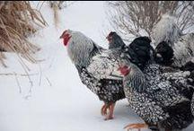 chickenlove / by Jodea Johnson