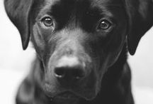 Black Lab Love / dedicated to our original mascot, Sam <3 / by Sobieski Services