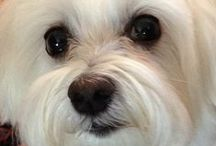 Bella & Her Best Buds / For those who adore #Maltese.