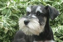 Mini Schnauzer  / I love my Mini Schnauzer. I have a 9 year old Salt and Pepper  Mini. They are wonderful dogs.