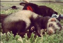 Ferrets & Co. <3