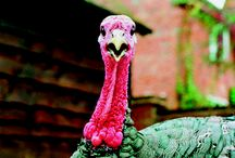 Thanksgiving. / I feel kinda guilty about the turkey cover picture.