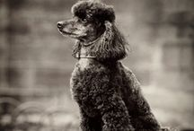 Poodles / poodles are the sweetest dog species