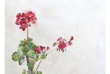 Geraniums!!!!!! / by Amy Woods Watercolors