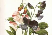 Botanical Illustrations / Flowers, Fruit, Trees and Foliage