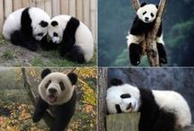 Panda Obsessions / Easy enough. Obsessed with pandas.