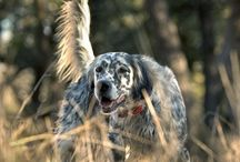 English Setter Photography / by Hannah Prosch