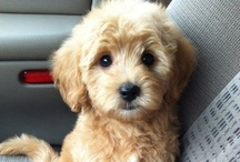 Puppy - It / Puppies = Love (but none are cuter than Buddy!) / by Tracy King