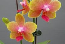Garden Orchids Saprophytes / Miniature Orchids are my favorites. I love most and work harD to achieve reblooming.  / by Ann Ayers