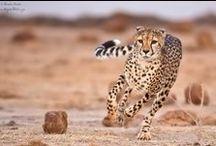 Cheetah / IUCN-status: Kwetsbaar - minder dan 12.000 wereldwijd;  Leefgebied: Afrika en Zuidwest-Azië; Typisch Cheetah: De cheetah (jachtluipaard) staat bekend om zijn snelheid. Deze spinnende kat is het snelste landzoogdier ter wereld. De hoogst gemeten snelheid is 115 km per uur! Bezoek onze website www.stichtingspots.nl om te zien hoe jij kunt helpen om deze prachtige dieren te beschermen!