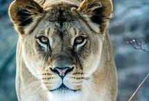 Lion/Leeuw / IUCN-status: Kwetsbaar - minder dan 34.000 leeuwen wereldwijd; Leefgebied: Afrika; Typisch Leeuw: De leeuw is de enige katachtige die in groepen leeft (prides) en bestaat meestal uit gemiddeld vijf volwassen vrouwtjes (twee tot twintig), één of twee volwassen mannetjes en hun jongen en onvolwassen nakomelingen. Meestal zijn alle vrouwtjes familie van elkaar en blijven zij hun hele leven bij elkaar. Steun SPOTS om deze prachtige dieren te beschermen!