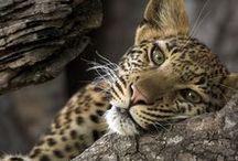 Leopard/Luipaard / IUCN-status: Gevoelig - minder dan 500.000 wereldwijd; Leefgebied: Afrika, Zuid en Oost Azië. Typisch Luipaard: De luipaard is de allrounder van de wilde katten en kan zich overal goed aanpassen waardoor het leefgebied uitgestrekt en gevarieerd is. Van droge woestijnen (bijvoorbeeld in Iran) tot dichte regenwouden tot grote hoogtes (er is zelfs een skelet van een luipaard aangetroffen op de Kilimanjaro, een berg van 5.638 meter hoog). Steun SPOTS om de luipaard te beschermen!