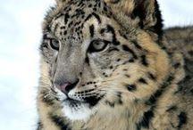 Snow Leopard/Sneeuwpanter / IUCN-status: Bedreigd - 4.000 tot 6.500 individuen in het wild; Leefgebied: Centraal Azië; Typisch Sneeuwpanter: Ondanks diverse studies blijkt het zeer moeilijk het mysterieuze bestaan van deze spinnende kat te ontrafelen en te doorgronden. De uitgestrektheid van het landschap in combinatie met de soms niets ontziende weersomstandigheden, maken het bestuderen en volgen van deze kat uiterst moeilijk. De sneeuwpanter is het meest verwant aan de tijger, maar kan niet brullen.