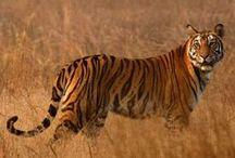 Tiger/Tijger / IUCN-status: Bedreigd - nog ongeveer 3.200 in het wild; Leefgebied: Azië; Typisch Tijger: De tijger is de grootste katachtige. Ze kunnen tussen de 150 tot 300 cm lang worden en wegen tussen de 100 tot 300 kilo, afhankelijk van de soort en het geslacht. Habitatverlies, stroperij en voedselgebrek door overbejaging vormen de grootste bedreiging voor de tijger. Door al deze bedreigingen zijn de tijgerpopulaties al gedaald van 100.000 exemplaren aan het begin van de 20e eeuw tot 3.200 vandaag.
