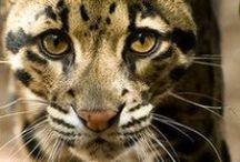 Clouded leopard/Nevelpanter / IUCN-status: Kwetsbaar - minder dan 10.000 in het wild; Leefgebied: Zuidoost-Azië; Typisch Nevelpanter: De nevelpanter is een mysterieuze kat die zich schuilhoudt in de bossen van Zuidoost-Azië. Deze kat was en is voor de wetenschap nog steeds verwarrend. Dit komt door het uiterlijk en het skelet, omdat deze panter lijkt op een kruising tussen een grote en een kleine katachtige.
