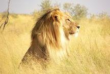 Ook Koning Leeuw zoekt een troonopvolger / Het kan je niet ontgaan zijn, op 30 april krijgen wij een troonswisseling. Voor het eerst sinds decennia krijgt Nederland weer een koning. Maar hoe zit het met die andere koning, met de koning van de dieren. De leeuw?  Koning leeuw wordt met uitsterven bedreigd en dat maakt het steeds lastiger om een troonopvolger te vinden. Of zou onze aanstaande koning een handje kunnen helpen? Met hulp van jullie gaan we het hem vragen!   / by stichting SPOTS