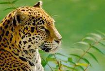 Jaguar / IUCN-status: Gevoelig - ongeveer 15.000 exemplaren in het wild; Leefgebied: Midden- en Zuid-Amerika; Typisch Jaguar: De rozetten van jaguars hebben zwarte stippen in het midden. Ook zijn het goede zwemmers en vermijden zij het water niet in tegenstelling tot vele andere katachtigen.
