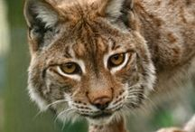 Lynx / IUCN-status: De Iberische Lynx staat op #1 op de rode lijst voor katachtigen (de tijger staat op #2). Andere lynx soorten zijn vooralsnog niet bedreigd; Leefgebied: Europa, Azië en Noord-Amerika.