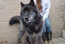 Wolfdog's