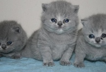 British shorthair & longhair Cattery Yes It Is