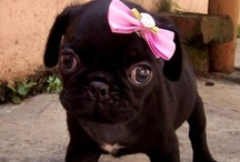 Perfect Pugs