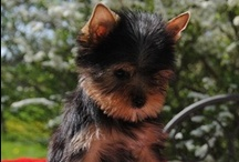 Dogs  / My dog is now Inès, Yorkshire Terrier. My Cairn Terrier named Brindille, 7 years old is dead  (fibrosis pulmonary). / by Valérie Thuillier