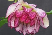 Helleborus / by Great Garden Plants