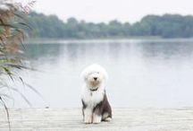 s h e e p d o g / old english sheepdog / by Hwa
