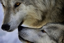 Canidae - True Wolves  / All members of the taxon: Canis lupus