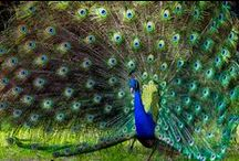 Birds-Phasianidae-Peafowl / Asiatic species of flying birds in the genus, Pavo, in the pheasant family, Phasianidae