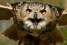 Birds-Strigiformes-Owls / Images of birds that belong to the order Strigiformes, that contain 200 extant bird of prey species.