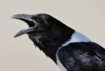 Birds-Corvidae-Crows / Corvidae is a cosmopolitan family of oscine passerine birds that contains the Crows, Ravens, Rooks, Jackdaws, Jays, Magpies, Treepies, Choughs and Nutcrackers; there are over 120 species.