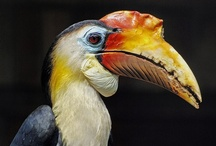 Birds-Rhamphastidae-Toucans / This family of birds consists of the Araçaris, the Toucanets,