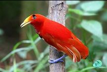Birds-Paradisaeidae / The 39 species of birds in 15 genera in the family Paradisaeidae, order Passeriformes. Found in New Guinea and its satellites, the Moluccas & E. Australia.