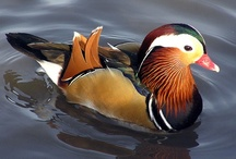 Birds-Anatidae-Ducks / A large number of species of Ducks in the family, Anatidae, that are not Swans or Geese.