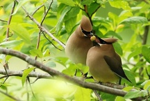 Birds-Bombycillidae-Waxwings / The single genus (Bombycilla) of Passerine birds in the family Bombycillidae; the species are the Bohemian Waxwing, B. garrulus, the Japanese Waxwing, B. japonica, & the Cedar Waxwing, B. cedrorum
