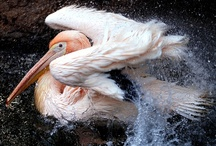 Birds-Pelecanidae-Pelicans / This family of large water birds consists of 8 species of pelican.