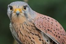 Birds-Falconiformes-Falcons / This order is a group of about 290 species of birds that comprises the diurnal birds of prey; it includes the Caracaras, all Falcons, Kestrels and Falconets.