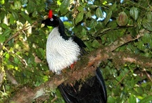 Birds-Cracidae-Curassows / Birds in this family are the chachalacas, guans and curassows