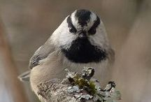 Birds-Paridae-Tits / Birds of this family include the tits, the chickadees and the titmice.
