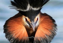 Birds-Podicipediformes-Grebes / Grebes are members of the Podicipediformes order; this order contains only a single family, the Podicipedidae, which contains 22 species in 6 extant genera.