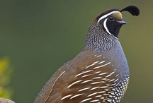 Birds-Odontophoridae-NW Quails / The New World quails belong to the family of Odontophorids and consist of 32 species in nine genera, among which are the Bobwhites and the Partridges.