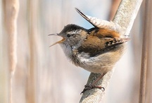 Birds-Certhioidea-Wrens / This superfamily contains the wrens, the nuthatches, the Wall-, Tree-, and Spotted- Creepers, and Gnat-Catchers.