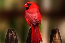 Birds-Cardinalidae / This large family of birds consists of the following clades: Masked, Blue, Ant-Tanager, Chat, and Pheucticus.