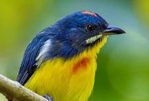 Birds-Dicaeidae-Flowerpeckers / This family, Dicaeidae , of passerine birds comprises two genera of Flowerpeckers, Prionochilus and Dicaeum, with 44 species in total.