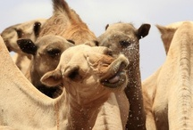 Camelids   / Camelids are members of the biological family Camelidae, the only living family in the suborder Tylopoda. The extant members of this group are: dromedaries, Bactrian camels, llamas, alpacas, vicuñas, and guanacos.